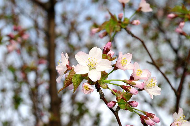 Cherry tree Free Photo