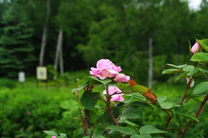 バラの商用利用可フリー写真素材640 フォトック