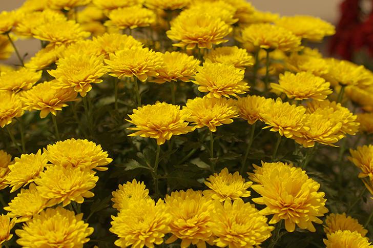 菊の花の商用利用可フリー写真素材3294 | フォトック