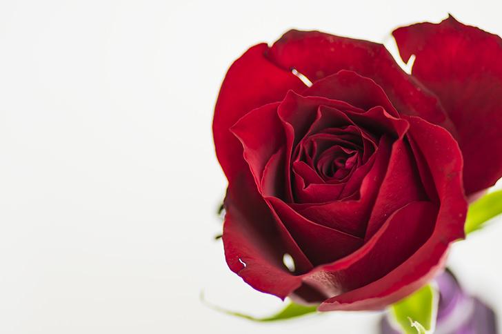 バラの商用利用可フリー写真素材4087 フォトック
