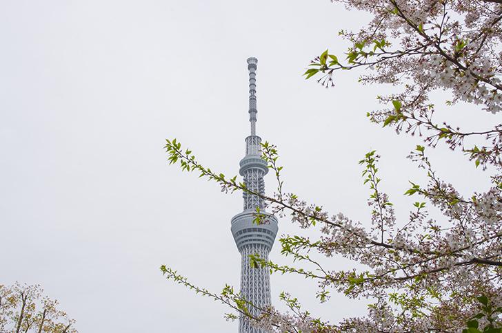 桜とスカイツリーの商用利用可能なフリー写真素材