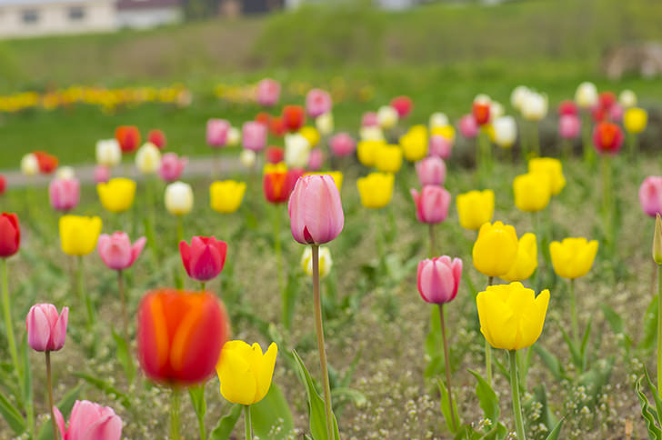 Tulip Free Photo