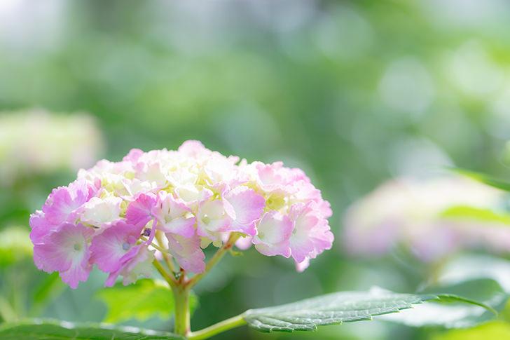 Hydrangea Free Photo