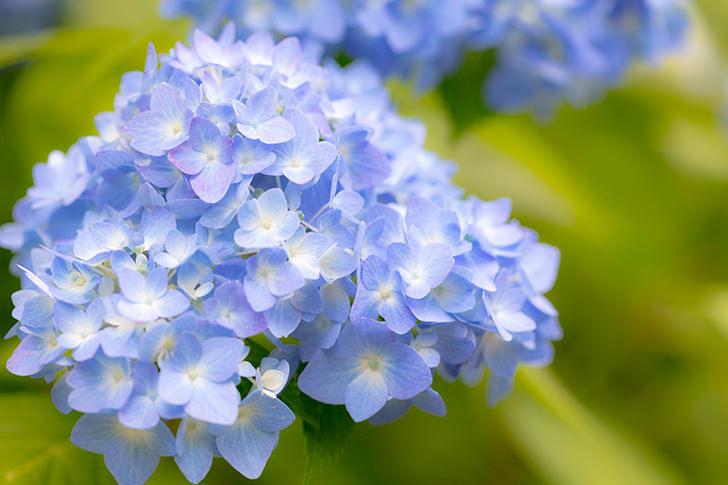 あじさい(紫陽花)の商用利用可能なフリー写真素材