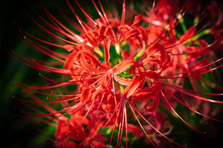 Lycoris radiata Free Photo