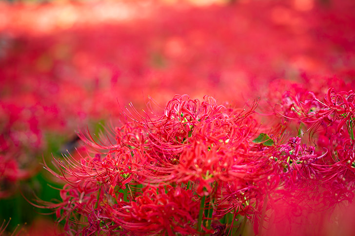 Lycoris radiata Free Photo
