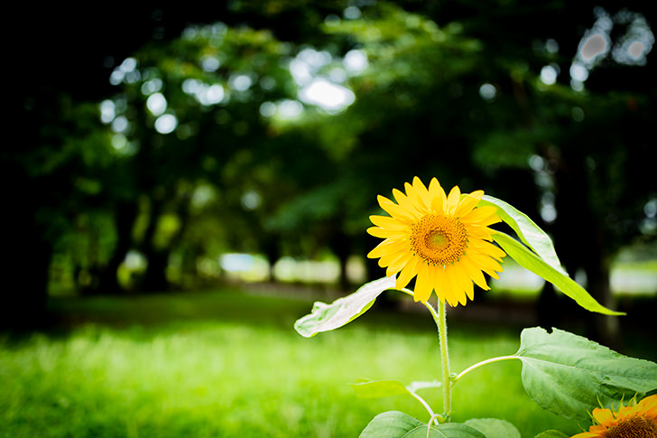 Sunflower Free Photo