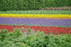 ラベンダー畑のフリー写真素材
