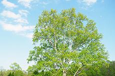 木のフリー写真素材