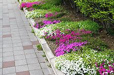 芝桜のフリー写真素材
