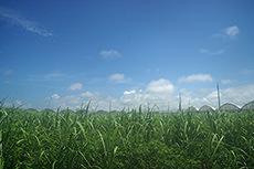 さとうきび畑と空のフリー写真素材